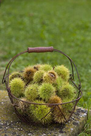 Noble chestnut
