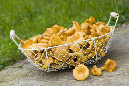 Chanterelles photo