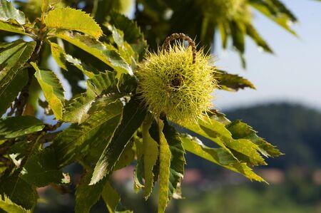 maronite: Noble chestnut