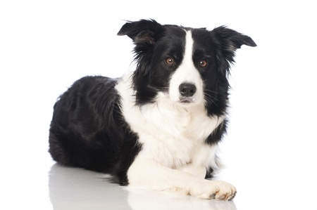 pet photography: Boder collie dog Stock Photo
