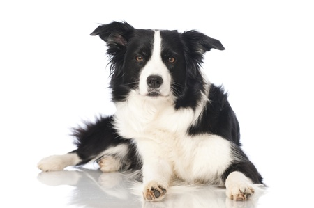 Boder collie dog Standard-Bild