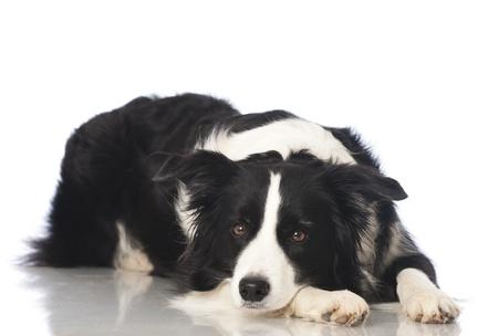 Boder collie dog photo