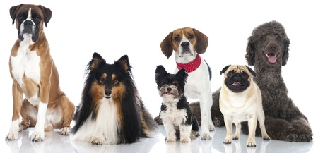 boxer dog: Group of pedigree dogs Stock Photo
