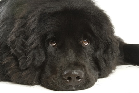 Newfoundland dog photo