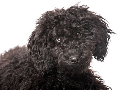 Black young poodle photo