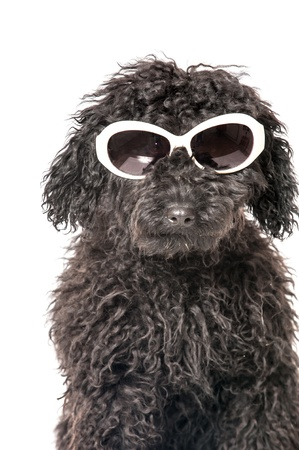 Black young poodle with sunglasses photo