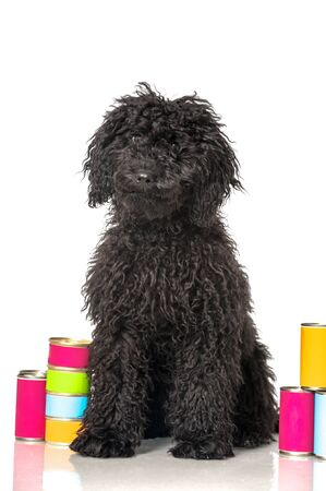 tousled: Black young poodle