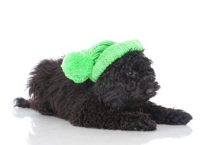 Black young poodle Stock Photo - 18046888