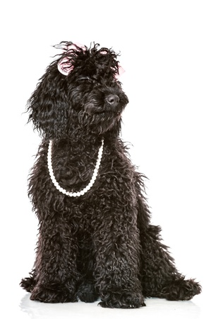 Black young poodle