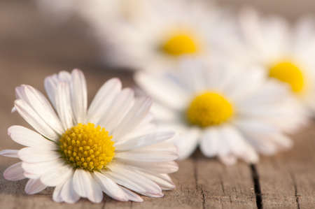 Daisies on wood photo
