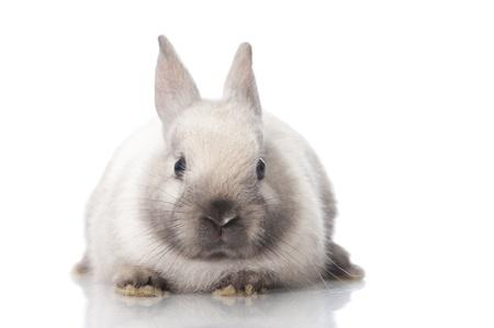 Zwerg Kaninchen isoliert auf weiß