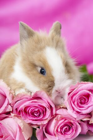 Dwarf rabbit with pink roses photo