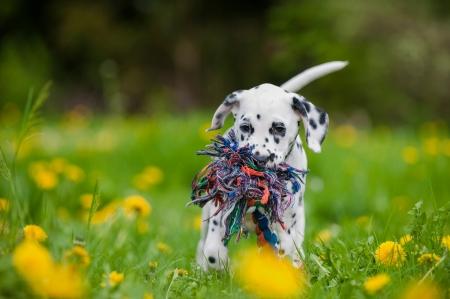 perros jugando: Perrito dálmata