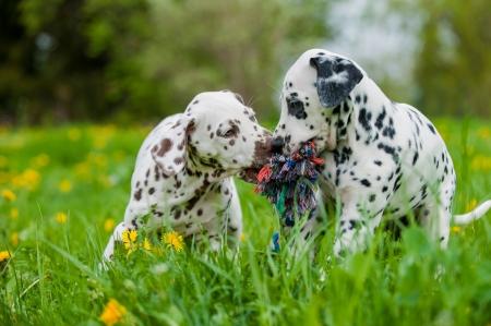 Dalmatian puppies Stock Photo