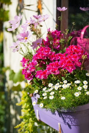 Colorful flowers in flower pot
