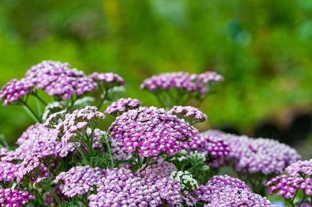 yarrow: Yarrow flowers with nature background