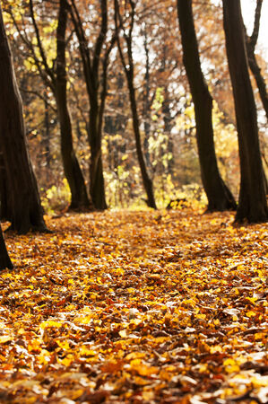 autumn motif: Trees in a autumn landscape