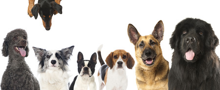 animal: Pedigree dogs Stock Photo
