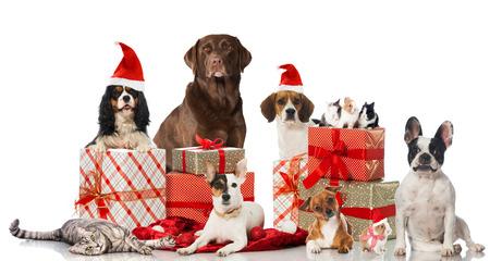 perro labrador: Mascotas de Navidad Foto de archivo