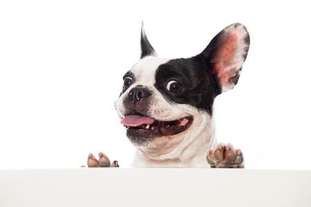 french bulldog: French bulldog looking over a board