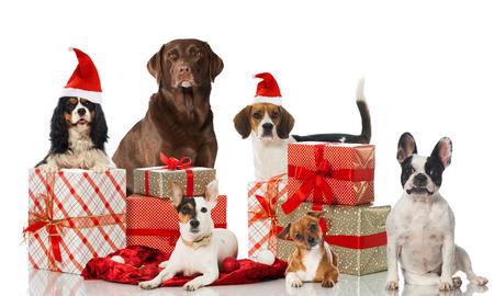 labrador christmas: Christmas dogs