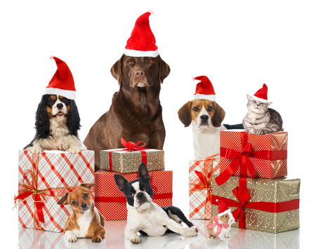 labrador christmas: Christmas pets Stock Photo