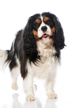 cavalier: Cavalier King Charles Spaniel isolated on white Stock Photo