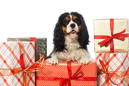 Cavalier King Charles Spaniel with christmas gifts photo