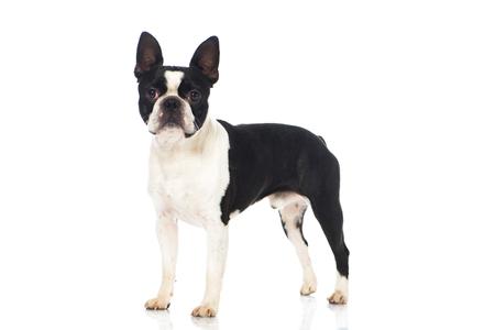 Boston terrier dog isolated on white Stock Photo - 24835759