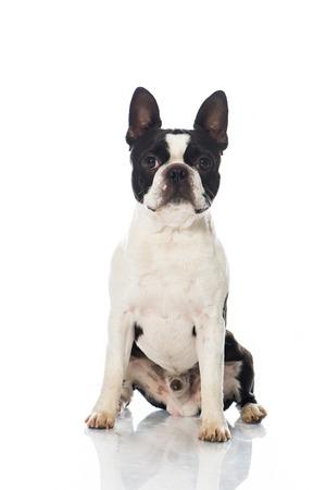Boston terrier dog isolated on white Stock Photo