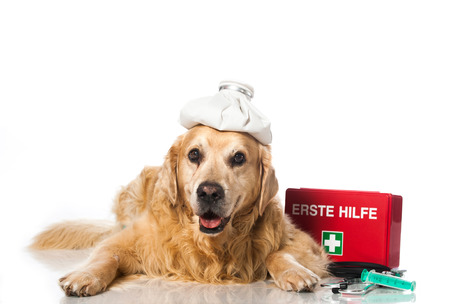 Old golden retriever with cool bag and emergency cases photo