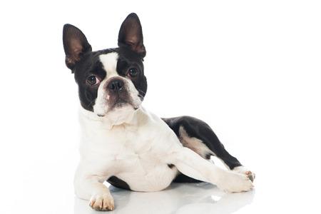 ボストン テリア犬の白で隔離 写真素材