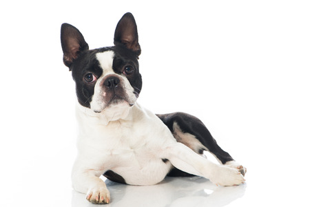 Boston terrier dog isolated on white Standard-Bild
