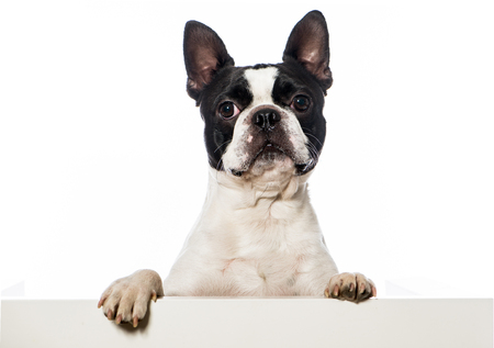 Boston terrier Standard-Bild