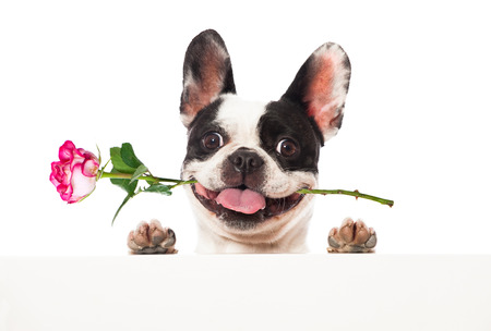 French bulldog with rose Stock Photo