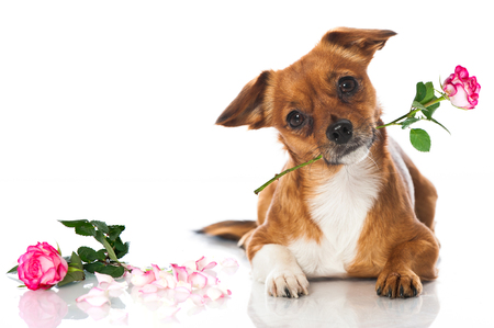 flowers beautiful: Little dog with rose Stock Photo