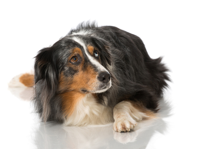 Australian shepherd dog photo