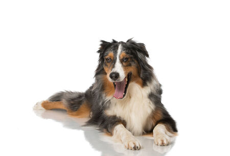 Australian Shepherd isolated on white photo