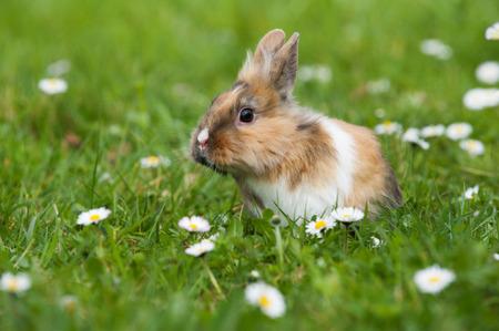 Zwerg-Kaninchen in einer Frühlingswiese