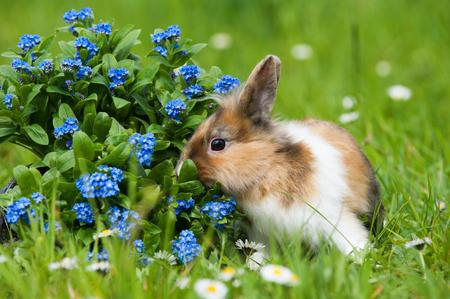 Zwergkaninchen in einer Frühlingswiese