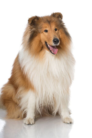 longhair: Collie dog isolated on white Stock Photo
