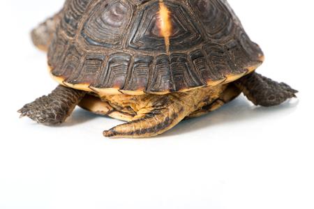 Yellow Edge Box Turtle isolated on white Stock Photo