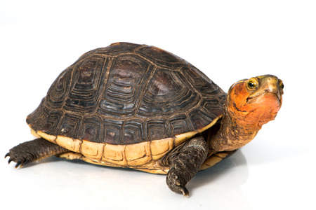 Yellow Edge Box Turtle isolated on white Zdjęcie Seryjne