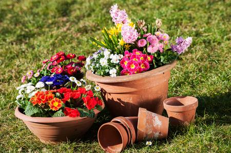 flower pots: Colorful spring flowers in flower pots