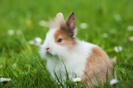 Zwerg-Kaninchen in einer Frühlingswiese Standard-Bild