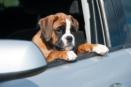 강아지 차 창 밖을보고