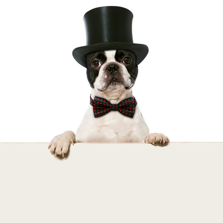 funny boston terrier: Dog with cylinder hat Stock Photo