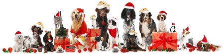 golden retriever puppy: Christmas pets Stock Photo