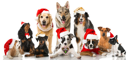 golden retriever puppy: Christmasdogs Stock Photo