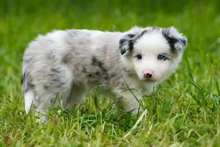 border collie: Border collie dog in a spring meadow